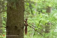 Wiewiórka ruda