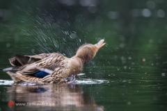 Kaczka krzyżówka - samiec
