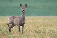 Sarna - koza
